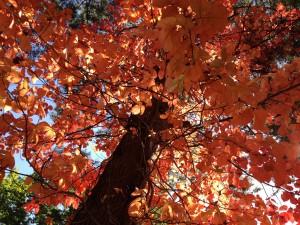 9/28ヒトツバカエデの紅葉が見事です
